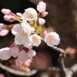 桜ソメイヨシノ開花