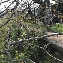 ☆山崎川に桜が咲き始…