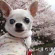 春めき桜と、ブルーラ…
