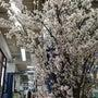 サンプレイの桜は満開