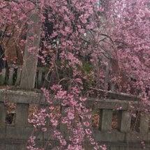 桜咲き始めましたぁ♪