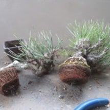 盆栽:黒松の植え替え