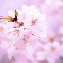 このはなさくや   桜咲くの記事に添付されている画像