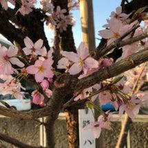 桜を想いながら
