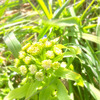 春の訪れを知らせるフキノトウ〜収穫編の画像