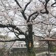 毎年この木だけ早く咲…