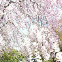 桜と真麻と