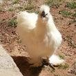 モフモフの鶏さん