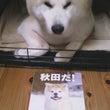子犬と秋田犬とみちゃ…