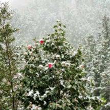 彼岸の雪に花