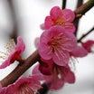 続-安八百梅園(2018年3月16日撮影)