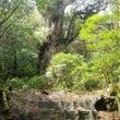 木の芽流しの縄文杉☆