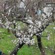 白い花が咲いたよ 梅…