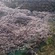 桜は満開。