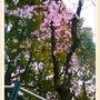 ○垂れ桜/多摩センタ…