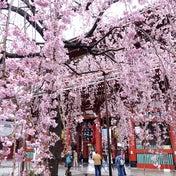 浅草浪花家 桜のほわいと 浅草寺 桜定点観測