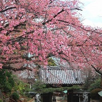 横浜高田町 興禅寺の安行桜がキレイの記事に添付されている画像