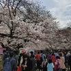 上野公園の桜開花状況はどんな感じ?混雑具合は?