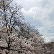 上野公園の桜開花状況…