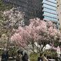 渋谷の桜(Dress…