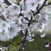 ネネの桜☆今年も咲きました♪