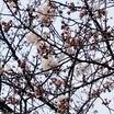 ちょい咲き