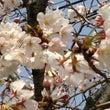 桜 開花状況 打上治…