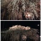 枝垂れ桜 ライトアップの記事より