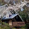 桜、おかげさまで…