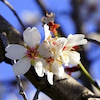 『アーモンドの木』の画像