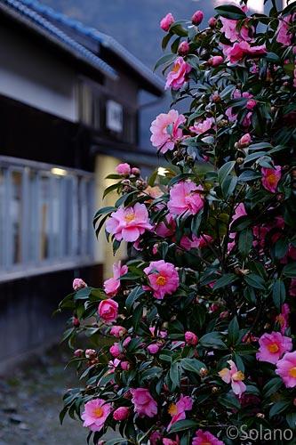 川平駅、さざんかの花