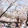 桜とマナーとグレース♪の画像