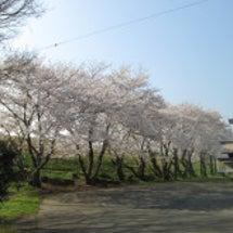 桜開花状況20180…