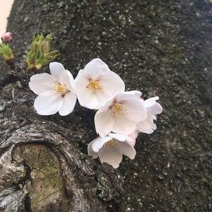 ルイとお花見の画像