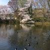 桜 横浜 あちらこちらの画像