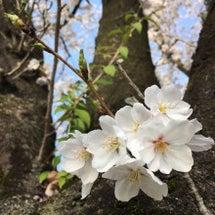 お花見瞑想ウォーキン…