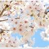 テディベアと桜と団子。の画像