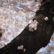 桜・さくら……。