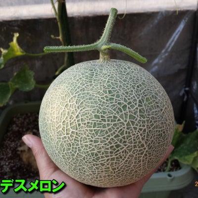 メロン栽培開始!種まき~発芽の記事に添付されている画像