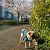 関東では桜が咲きました〜!の画像