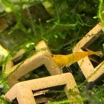 シュリンプの飼育と熱帯魚との混泳についての記事に添付されている画像