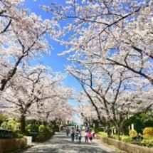 桜満開!見ごろを迎え…