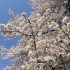 桜の花はなぜ咲くの❤️禅問答の画像