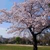 行徳の桜♡の巻の画像