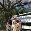 久喜市の香取公園 桜並木散歩の画像
