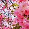 桜キレィやなぁ(*´∇`*)の画像