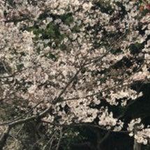 今年も桜を見ることが…