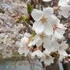 今日で3月も終わりますね。桜が綺麗ですの画像