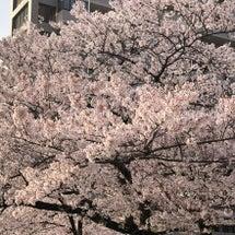 FCC裏の公園桜
