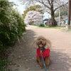 桜散歩の画像